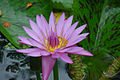 Water Lily, Hawaii Tropical Botanical Garden.jpg