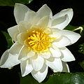 Water Lily macro (5873272051).jpg