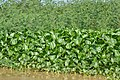 Water hyacinth- typical vegetation of the area (14330416615).jpg