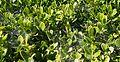 Webbing on a jade plant in Alcazar Garden.jpg