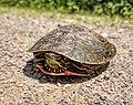 Western Painted Turtle (42098227944).jpg