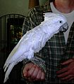 White-crested Cockatoo July 24 2010.JPG