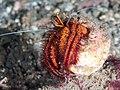 White-spotted hermit crab (Dardanus megistos) (43133876951).jpg