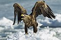 White-tailed Sea-Eagle - Hokkaido - Japan S4E9284 (15437353795).jpg