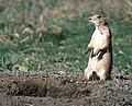 White-tailed prairie dog 2.jpg