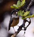 White-throated bushtit (Aegithalos niveogularis) JEG9985 (cropped).jpg