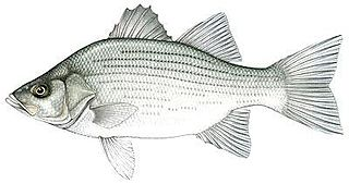White bass Species of fish