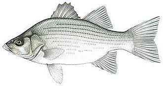 White bass - White bass