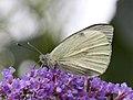 White Butterfly 2 (3845595023).jpg