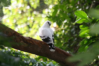 White hawk - Adult Pseudastur albicollis costaricensis in Honduras