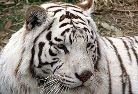 White tiger2.jpg