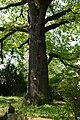 Wiener Naturdenkmal 370 - Traubeneiche (Döbling) d.JPG