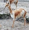 Wikunia mlode Zoo Lodz.jpg