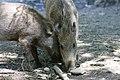 Wild Boar piglets.jpg