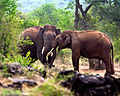 Wild elephants by N. A. Naseer.jpg