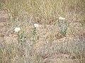 Wildflower P7180311.jpg