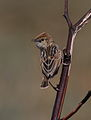 Wing-snapping cisticola, Cisticola ayresii, at Suikerbosrand Nature Reserve, Gauteng, South Africa (22022016764).jpg