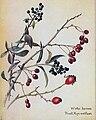 Winter Berries - Privet, Hips and Haws.jpg
