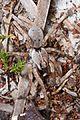 Wolf Spider - Hogna species?, Lake June-in-Winter Scrub State Park, Lake Placid, Florida.jpg