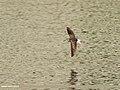 Wood Sandpiper (Tringa glareola) (25938004348).jpg