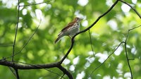 Няйф:Wood thrush in Central Park switch sides (16510).webm