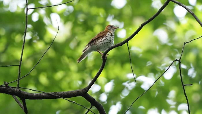 File:Wood thrush in Central Park switch sides (16510).webm