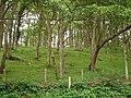 Woodland Glade at Felin Newydd - geograph.org.uk - 472777.jpg