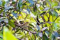 Worm-eating warbler (25008289765).jpg