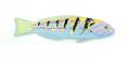 XRF-Thalassoma hardwicke.png