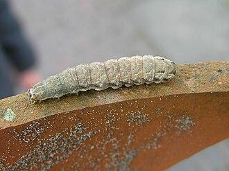 Noctuinae - Double square-spot (Xestia triangulum) caterpillar