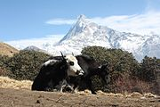 Yaks on the Mardi Himal trek.jpg
