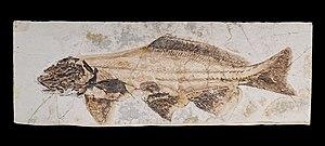 Acipenseriformes - Yanosteus longidorsalis MHNT