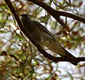 Yellow-eyed Cuckooshrike inskip.JPG