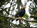 Yellow-faced Myna 2.jpg