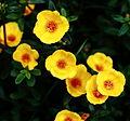 Yellow Flower Bunch (Portulaca) - Flickr - Swami Stream.jpg