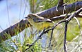 Yellow Thornbil (Acanthiza nana)l (30593938403).jpg