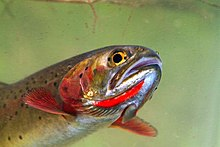 Photo of cutthroat trout head with red throat slashes