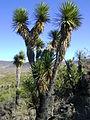 Yucca species (5726659917).jpg