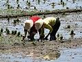 Yunnan riziere.jpg