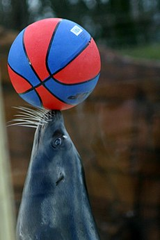 A grey sea lion with white whiskers balancing a ball that resembles a blue-and-red basketball