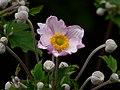 Zawilec japoński. (Anemone hupehensis) 03.jpg