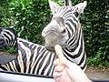 Zebra at taman safari.jpg