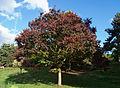 Zelkova carpinifolia - Parc Floral.jpg