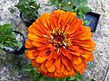 Zinnia-benarys-giant-orange-0258.jpg