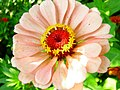 Zinnia Flower (209240411).jpeg