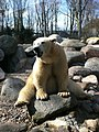 Zoo isbjørn - panoramio (5).jpg