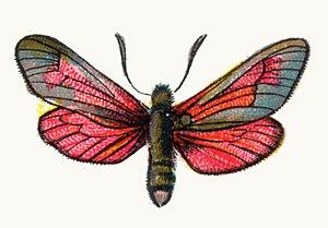 Zygaena purpuralis - Zygaena purpuralis. Illustration from Europas bekannteste Schmetterlinge, Plate IX (c. 1895)