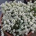 'Giga White' alyssum IMG 5045.jpg