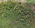 'Lotus corniculatus' ~ Birdsfoot-trefoil or Bacon and Eggs at Shipley, West Sussex, England.JPG
