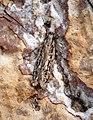 (0801a) Gelechia senticetella (35915872321).jpg